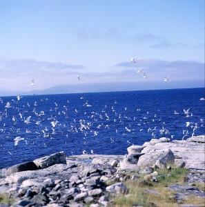 Vardø001-0003 fugler